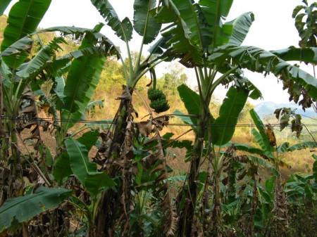 Bananen wachsen hier wie Unkraut