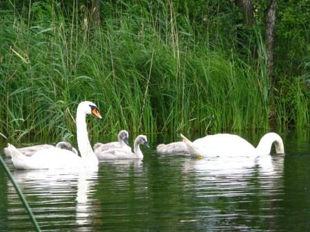 nicht nur die Schwäne, auch alle anderen Wasservögel haben kein Problem mit uns Paddlern